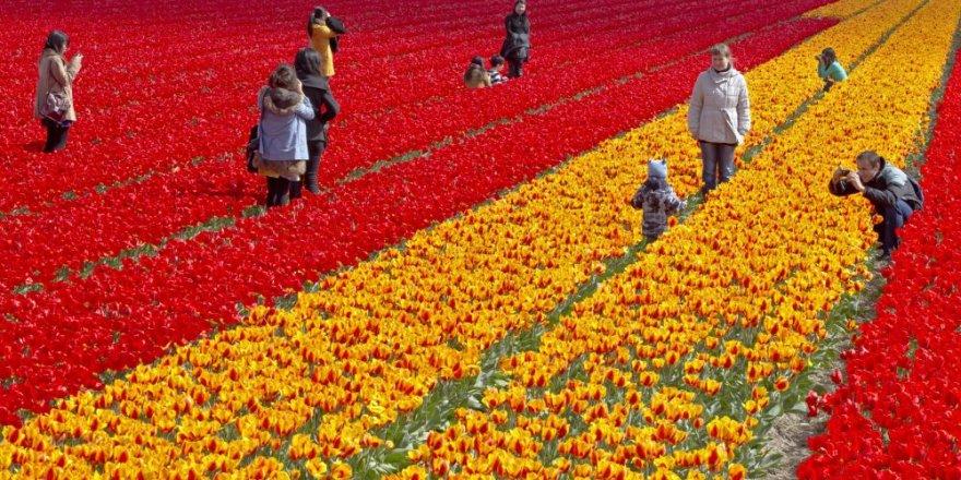 Hollanda, selfie meraklılarına karşı lale tarlalarını bariyerle koruyacak