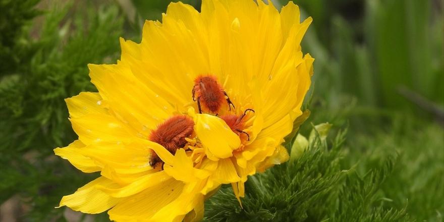 İzine 150 Yıl Sonra Tekrar Rastlanan Bitki İçin Özel Çalışma