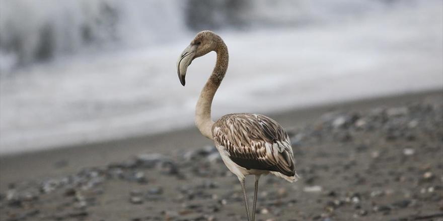 Kastamonu'da Sahilde Görülen Flamingo İlgi Odağı Oldu