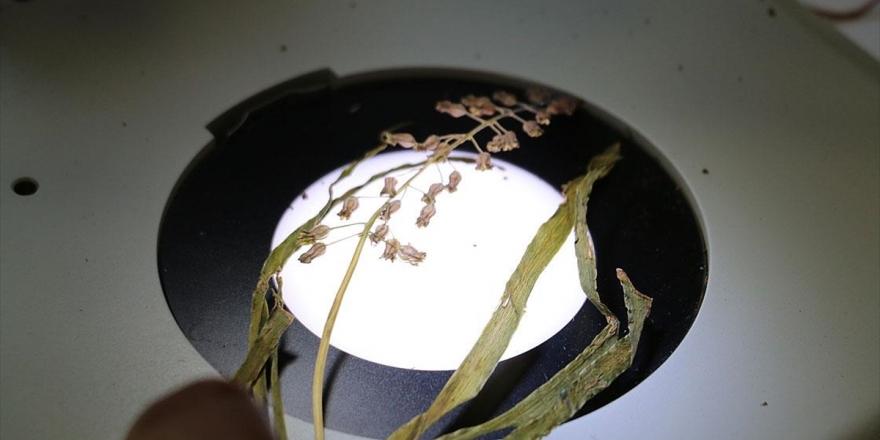 Bitki Türleri Kurutularak Kayıt Altına Alınıyor