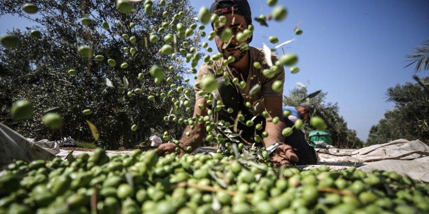 Gazze'de Zeytin Hasadı Başladı: Bu Yılki Rekoltenin 30 Bin Ton Olması Bekleniyor
