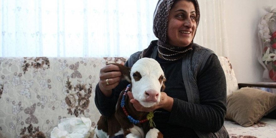 Hayvancılık Yapan Fatma Öncel Prematüre Buzağıya Evinde Bakıyor