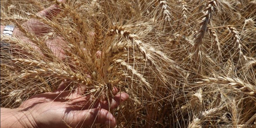 Doğu Akdeniz Tarımsal Araştırma Enstitüsünden 10 Yeni Tohum Çeşidi