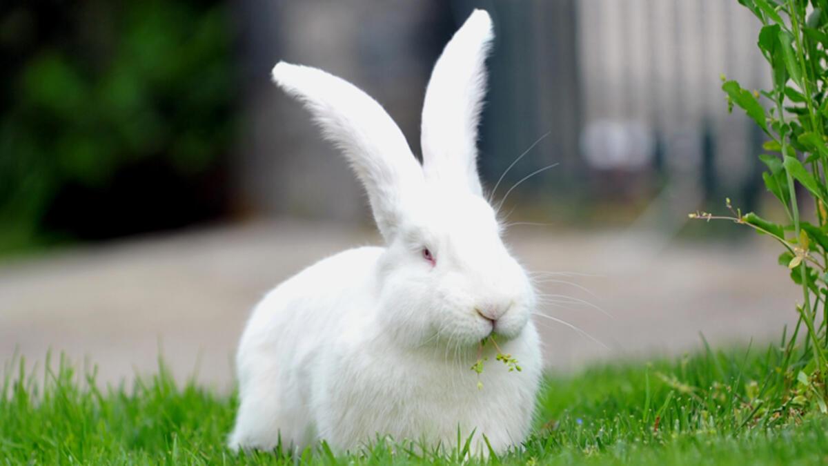 Pandemi sürecinde tavşan satışları arttı: Köpek ve kedilerin sorumluluğunu almak istemeyenler tavşana yöneldi
