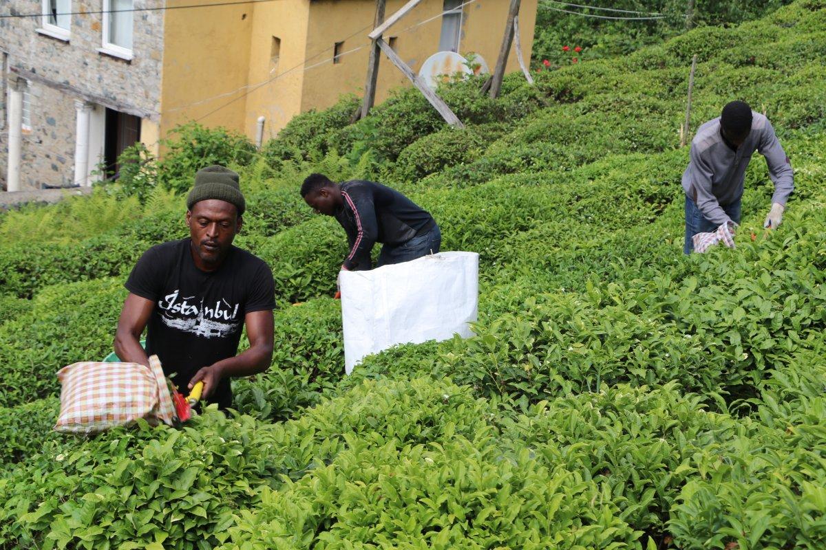 Rize'de, çay bahçeleri yabancı uyruklu işçilerle doldu