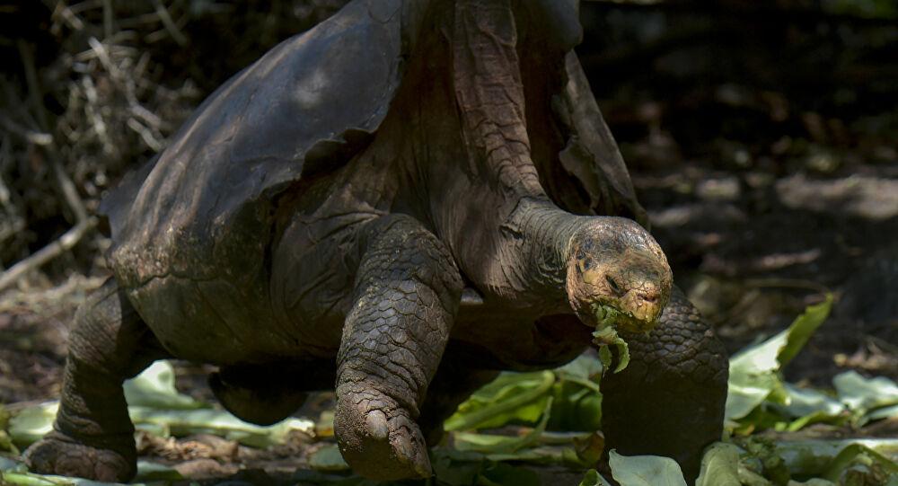 Tek başına türünü kurtaran kaplumbağa Diego emekliye ayrıldı