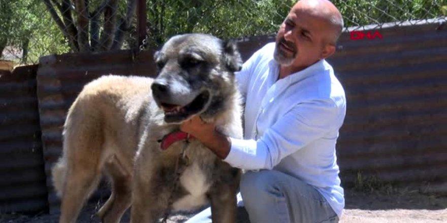 SİVAS Kangal köpeği yetiştiricileri çipli takipten memnun