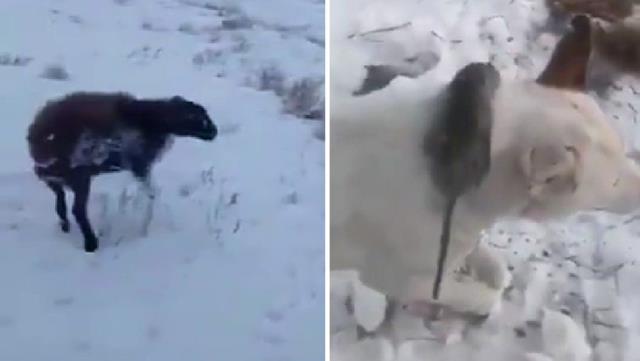 Öldürücü soğukların hüküm sürdüğü topraklarda ısınmak isteyen fare köpeğin boynunda dondu