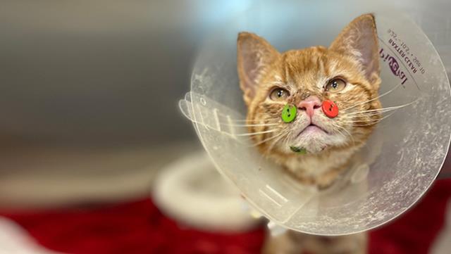 Yüzü parçalanan yavru kediyi 4 adet renkli düğmeyle tedavi ettiler