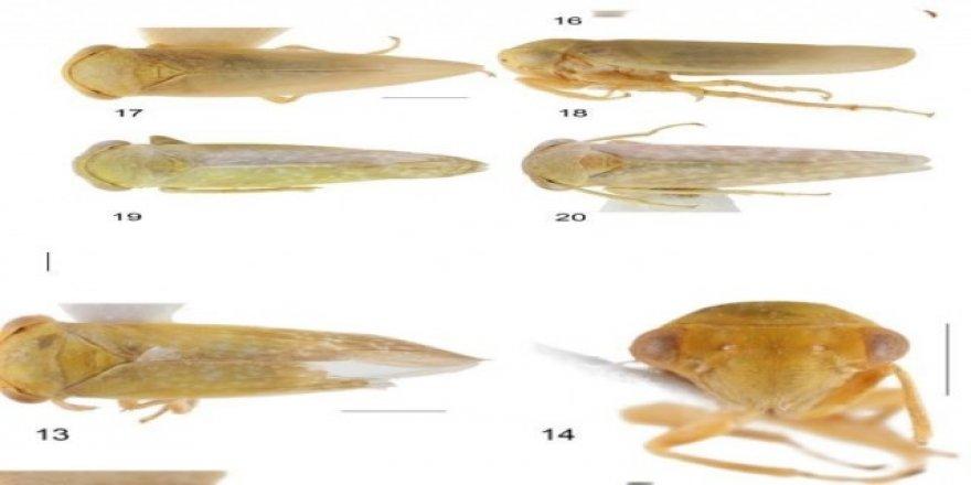 Achrus albicosta isimli böcek, Çin'den sonra ilk defa Elazığ'da görüldü