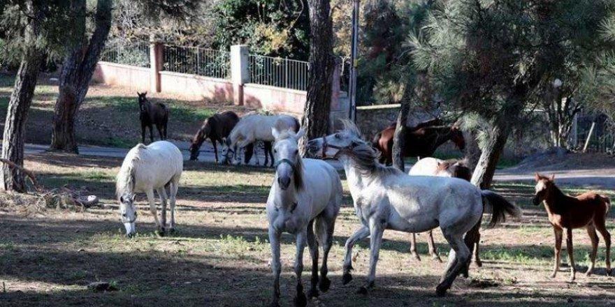 İBB'den kayıp atlar açıklaması: Mevzuat açık!