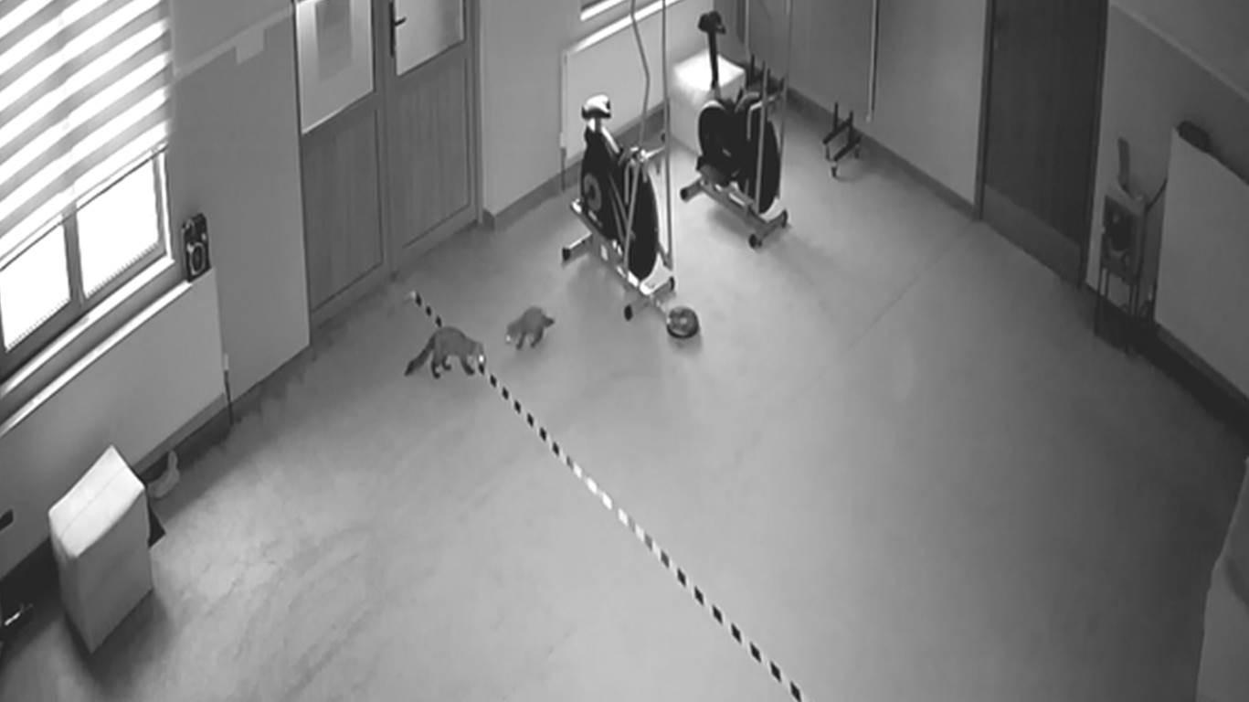 Sansarlar güvenlik kameraları sayesinde fark edildi