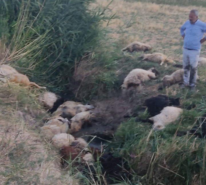 Diyarbakır'da dereye atlayan koyunu 500 koyun takip etti: 36 koyun telef oldu