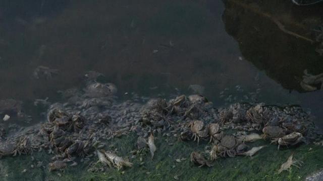 Küçükçekmece Gölü'nde ölü balık ve yengeçler kıyıya vurdu