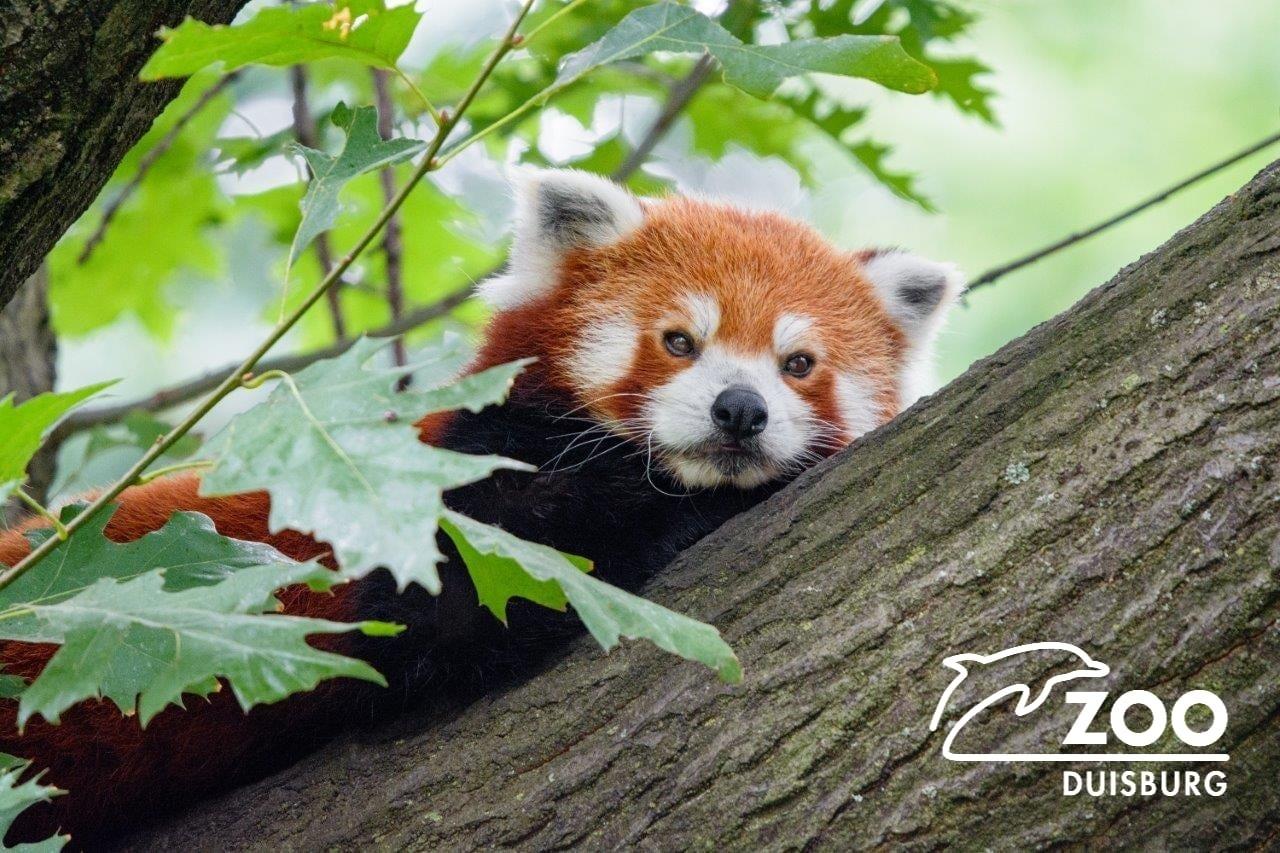 Almanya'da Hayvanat Bahçesindeki Panda Kayıplara Karıştı