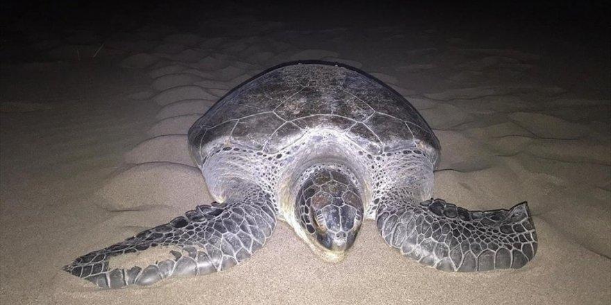 Yeşil Deniz Kaplumbağası Patara Plajı'na 9 Yıl Sonra Yuva Yaptı