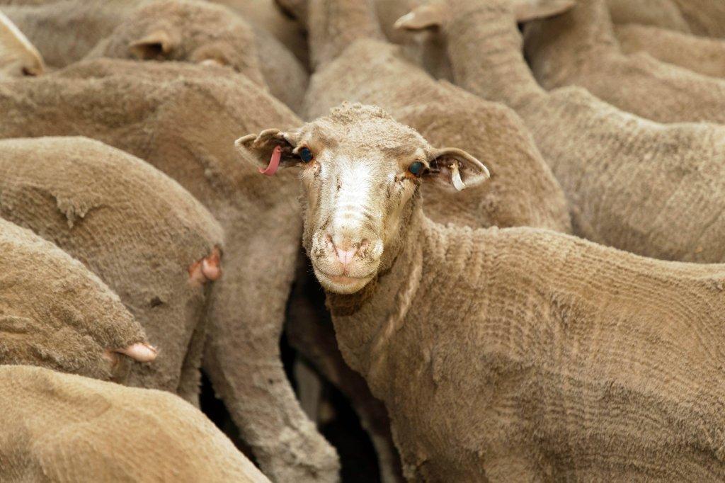 Yeni Zelanda'da 226 Koyuna Hastalık Nedeniyle Ötenazi Yapıldı