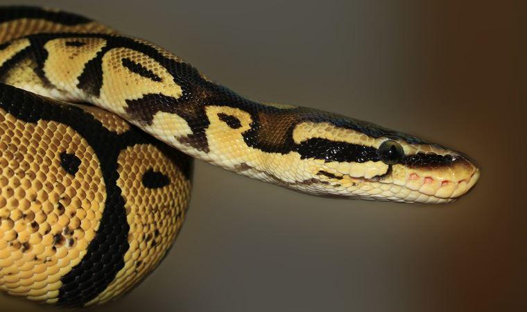 Tuvaletteyken yılan tarafından cinsel organından ısırıldı