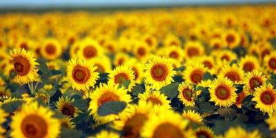 'Sarı Gelin'in Uyanışı Büyülüyor