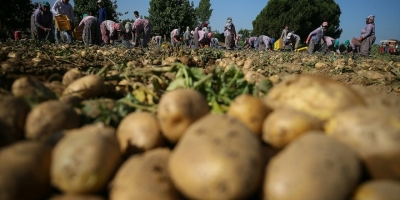 Tarım Ve Orman Bakanı Pakdemirli: Türkiye Patates Üretiminde Dünyada İlk 10'da